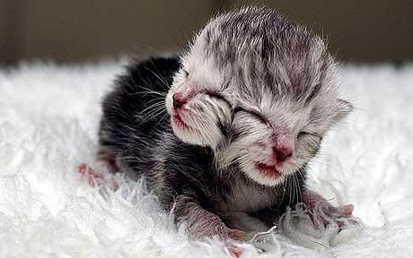 Двуглавый котенок
