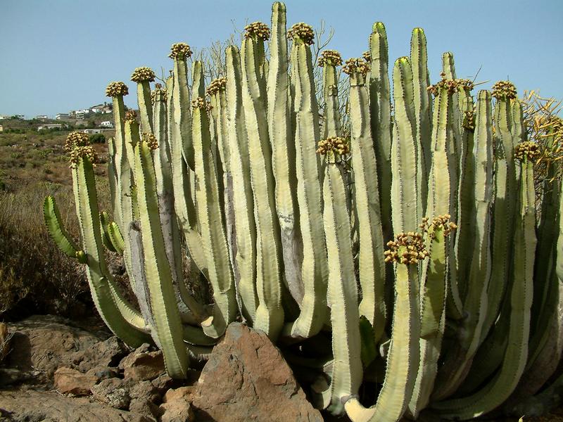Euphorbia_canariensis