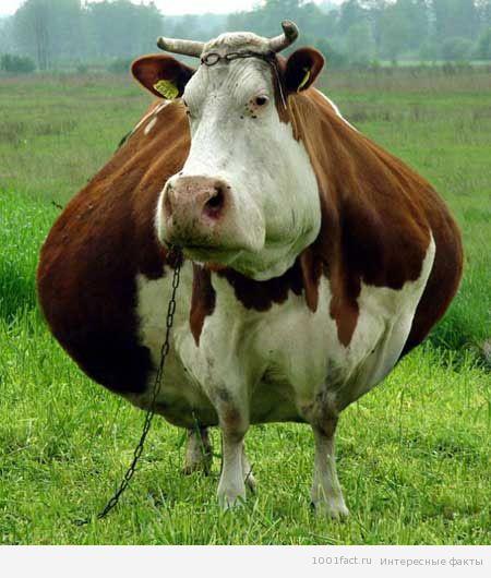 Корова может подняться вверх по