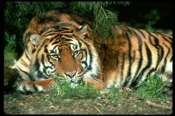Интересные факты об уссурийском тигре