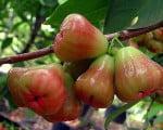 розовое яблоко 1