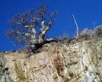 слоновое дерево