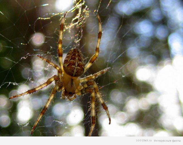 Паука-кругопряда иногда называют золотым шелкопрядом.  И все из-за того, что его паутина под лучами солнца сверкает...