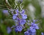 fall-spring-Rosemary-Blossoms