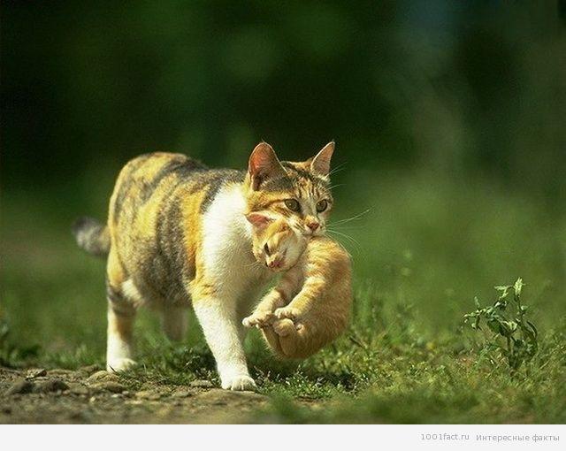Кошка временно парализует котенка не