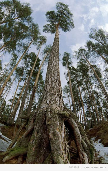 Почти полсотни вымерших деревьев