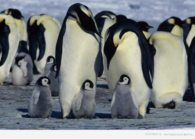 пингвины_ Антарктида