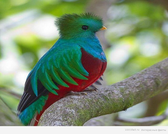 птица квезаль