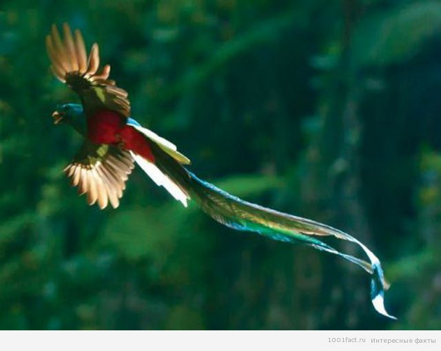повадки птицы квезаль
