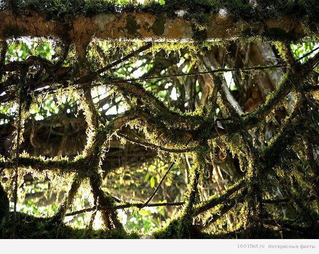 корни дерева_факты о мосте