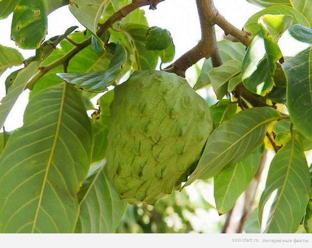о фрукте черимойя