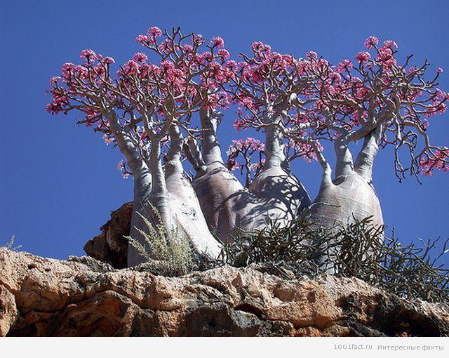 растения острова Сокотра