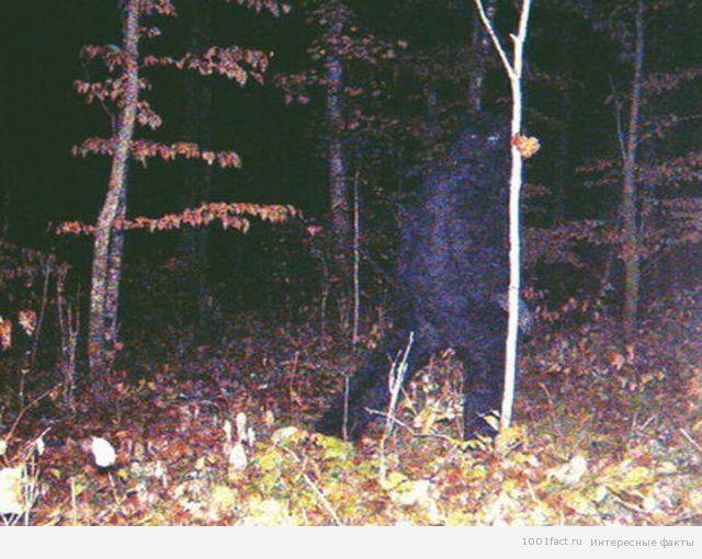 йети_в лесах