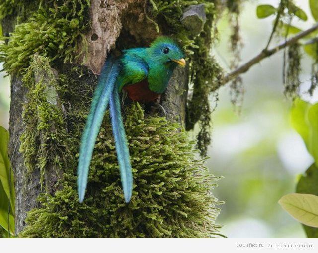 квезаль_факты о птице