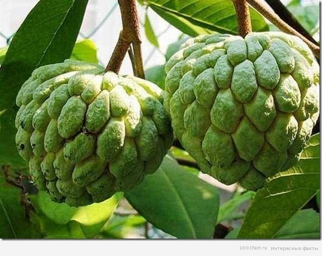фрукты_факты