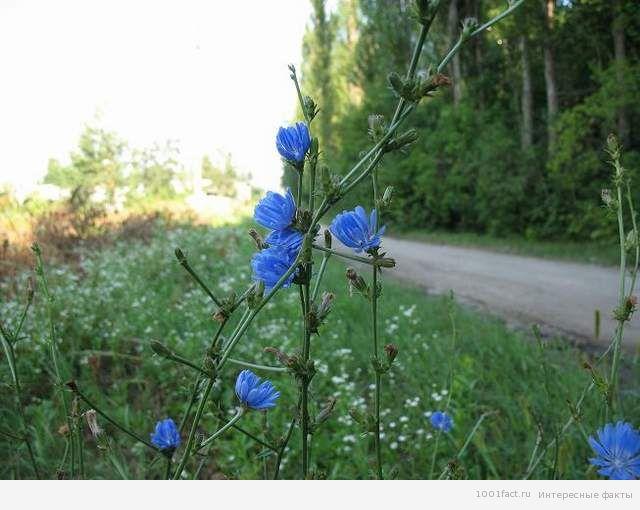 растение цикорий