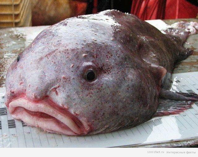 рыба-капля_некоторые факты