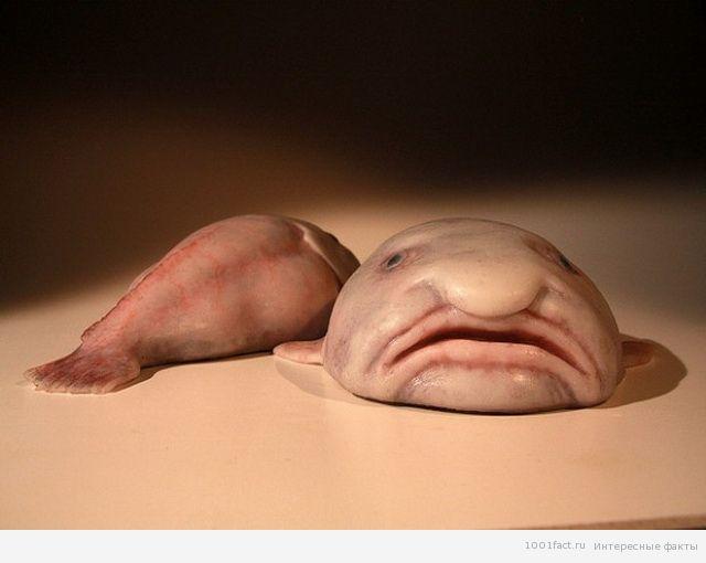 несъедобная рыба-капля