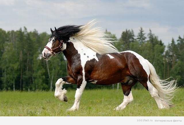факты_лошадь породы Тинкер