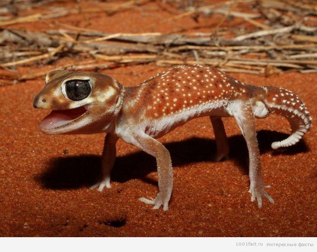 о гекконах