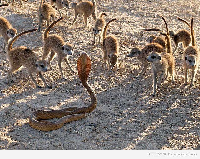 кобра и сурикаты