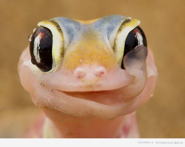 глаза геккона