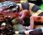 факты о ящерицах гекконах