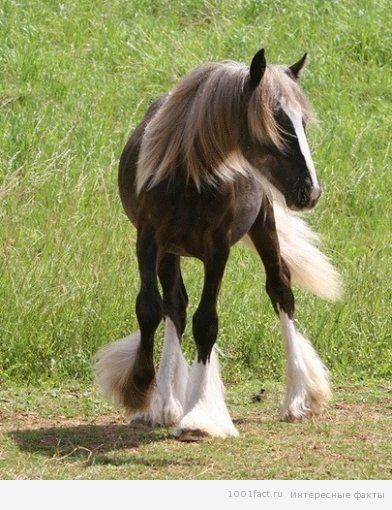 факты о животных_лошадь породы Тинкер