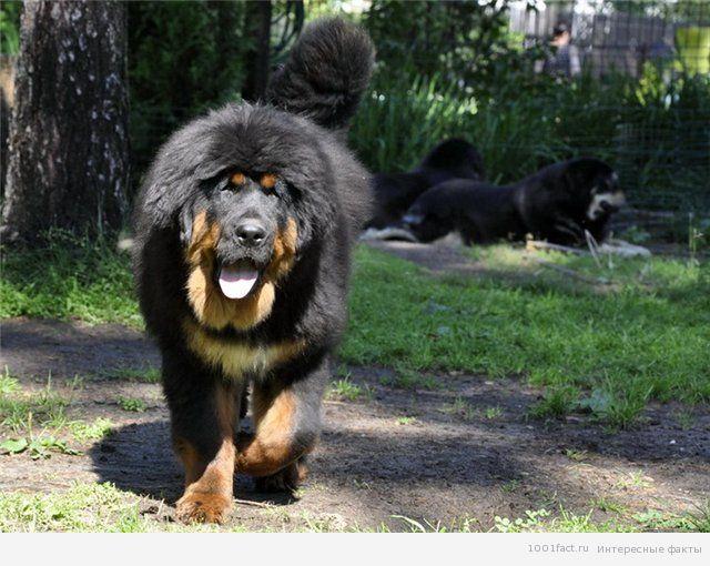 факты о собаке_тибетский мастиф