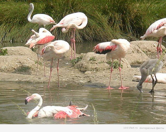 о птицах фламинго