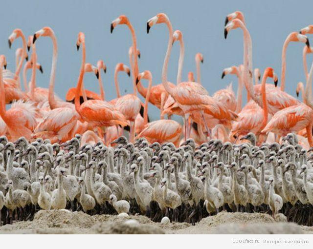 птенцы фламинго