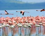 факты о фламинго