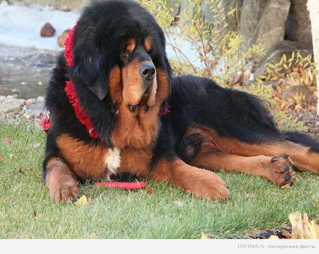 собаки породы тибетский мастиф