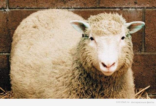 клонирование_овечка Долли