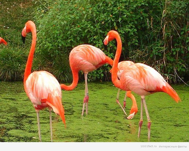 интересные факты_фламинго