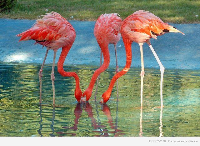 птицы_фламинго
