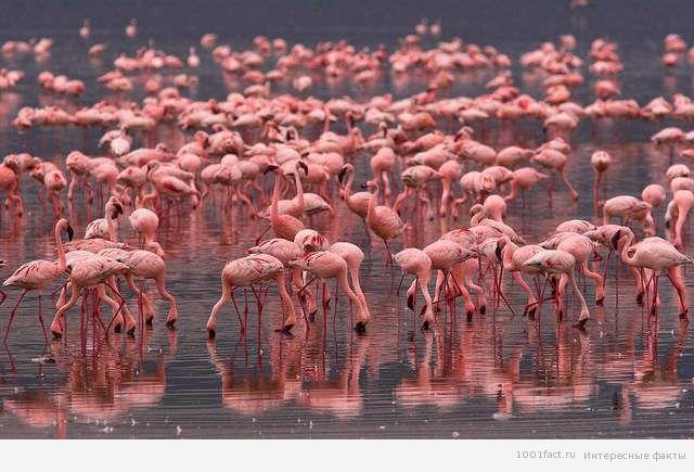 фламинго_факты о птицах