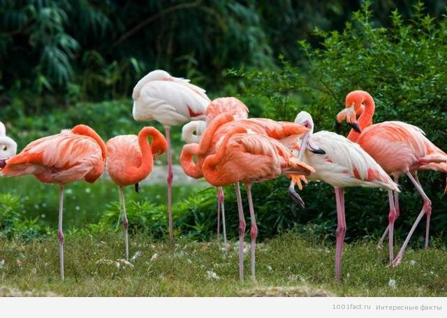 фламинго_факты