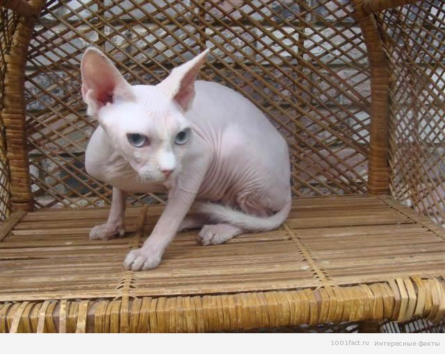 факты о кошках_порода минскин