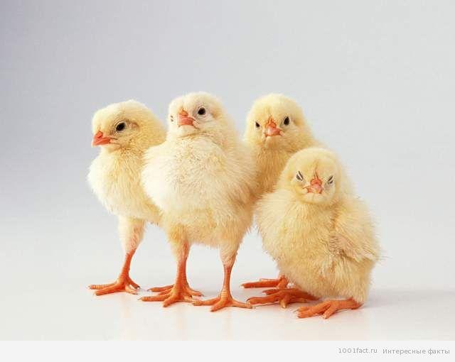 определитель пола цыплят