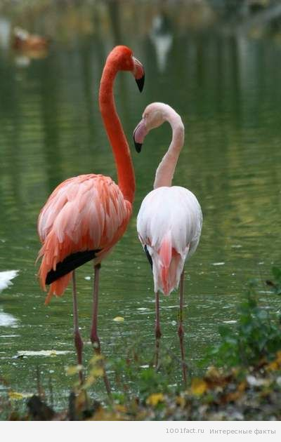 о фламинго_некоторые факты