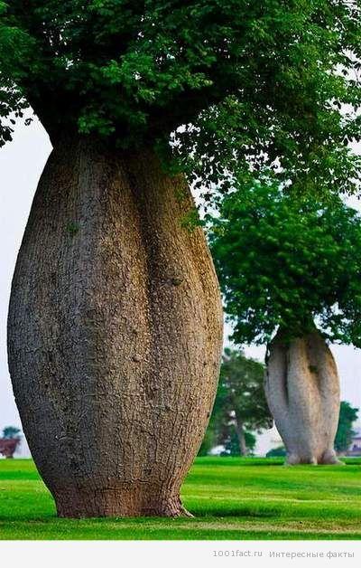 ствол бутылочного дерева