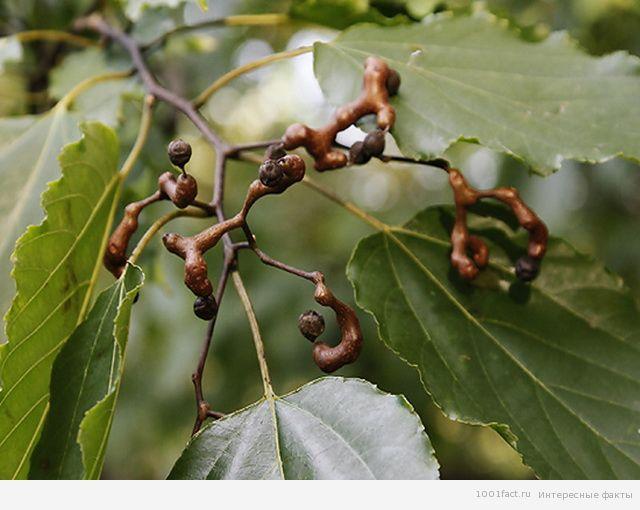 о деревьях_конфетное дерево