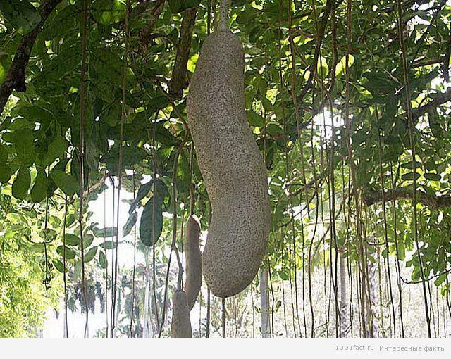 кигелия_дерево