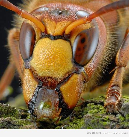 жизнь насекомых_шершни