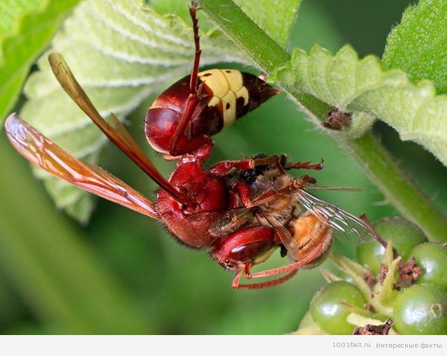 о насекомых_шершни