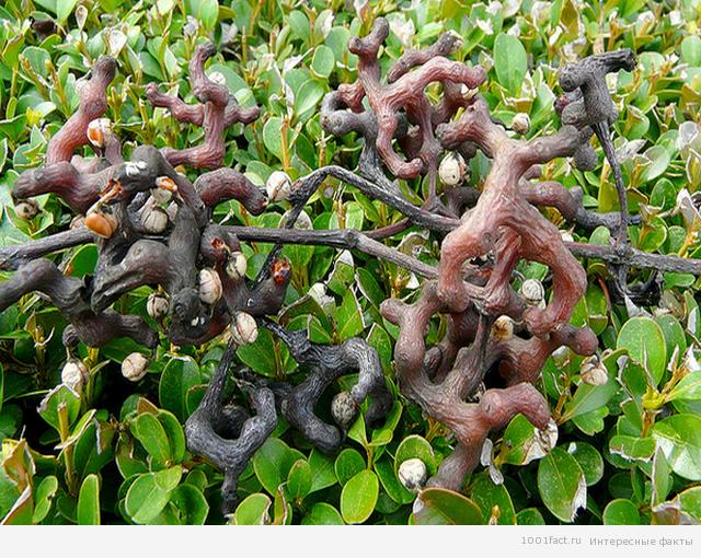 плодоножки дерева