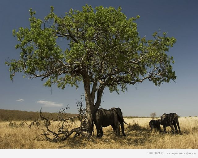 о дереве кигелии