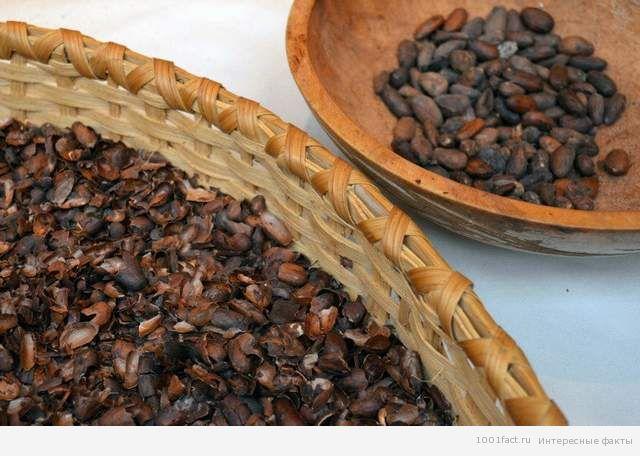 шоколад_сбор какао бобов