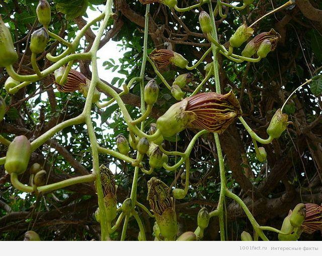колбасное дерево_цветы